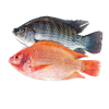 Picture of Live Fish Tilapia